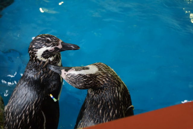 須磨水族館ペンギン