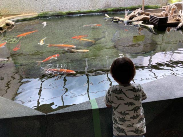須磨水族館鯉